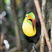 Toucan on the branches