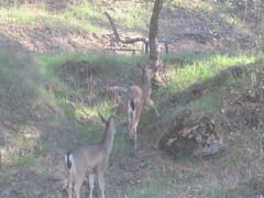 Blacktail doe (MaxFailure) Tags: sierranevada blacktail blacktaileddeer deer ca california eldoradocounty coloma hybrid columbianblacktaileddeer cervine cervidae odocoileuscolumbianus
