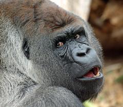 Western lowlandgorilla Bokito Blijdorp JN6A7076 (j.a.kok) Tags: gorilla westelijkelaaglandgorilla westernlowlandgorilla lowlandgorilla laaglandgorilla animal africa afrika aap ape mammal monkey mensaap primate primaat zoogdier dier blijdorp silverback zilverrug bokito