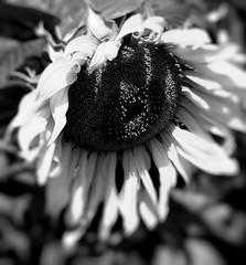 """Z albumu """"Słoneczniki"""" (andrzejskałuba) Tags: polska poland pieszyce dolnyśląsk silesia sudety europe plant panasoniclumixfz200 roślina kwiat flower słonecznik sunflower bw monochrome macro natura nature natural natureshot natureworld white black"""