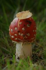 rød fluesopp (KvikneFoto) Tags: sopp fungi mushroom høst fall autumn tamron nikon mf natur norge hedmark kvikne