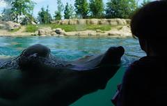 Close encounter of the Pol;ar Bear kind (22) (bertknot) Tags: blijdorp blijdorprotterdam blijdorpzoo dutchzoo dierentuin blijdorpdierentuin ijsbeer polarbear