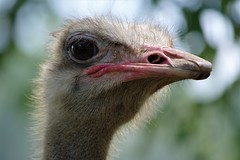 Ostrich close up (Lyn_roc) Tags: animal sanctuary bird nikon d3200 ostrich noahsark beak feathers nature fauna