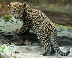 Shrilankan panther Burgerszoo JN6A3199 (j.a.kok) Tags: panter leopard luipaard panther pantheraparduskotiya shrilankapanter shrilankanpanther shrilankanleopard shrilankaansepanter animal azie asia mammal predator zoogdier dier kat cat burgerszoo cub welp panterwelp panthercub babypanther leopardcub