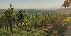 Septembre (blogspfastatt (+4.000.000 views)) Tags: vineyard vignoble blogspfastatt lumière light