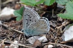 Common blue (Polyommatus icarus) # 2 (presbi) Tags: farfalla papillon butterfly barboleta mariposa