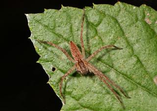 Nursery Web Spider - Pisaurina mira, St. Mary's River State Park, Leonardtown, Maryland