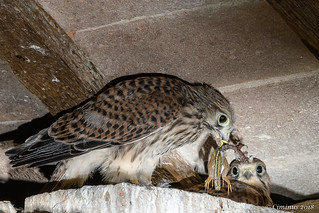 Young Kestrel with prey.