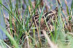 Bécassine des marais (Gallinago gallinago) (kingfisher001) Tags: bécassinedesmarais gallinagogallinago commonsnipe charadriiformes scolopacidés limicoles charadriidés oiseaux migrateurs zones herbeuses humides auborddesmarais étangs prairiesinondées