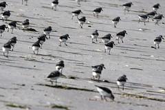 Sanderlings (j shew) Tags: islandbeachstatepark sanderlings jersey shore