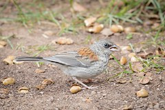 Nutcracker (gseloff) Tags: darkeyedjunco bird feeding acorns nature wildlife animal lincolnnationalforest newmexico gseloff
