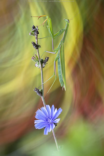 Mantis painter