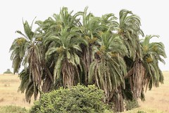 Palms (Nagarjun) Tags: nairobinationalpark kenya east africa flora plants trees vegetation savannah