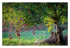 Apple´s Paradise (Myanoli) Tags: apple tree apfel baum natur nature outdoor canon green grün