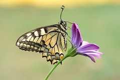 1. Blues in My Heart... (Zbyszek Walkiewicz) Tags: macro butterflies butterfly sony coth5