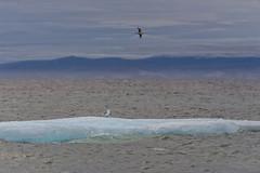 Sea birds (I saw_that) Tags: gull iceberg uncool uncool2 uncool3 uncool4 uncool5 cool uncool6 uncool7