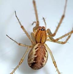 Linyphia triangularis (AJC1) Tags: arachnids springtails macro