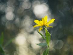 2018:09:18 18:01:13 - Evening Flower Bokeh - Tarbek - Schleswig-Holstein - Deutschland (torstenbehrens) Tags: evening flower bokeh tarbek schleswigholstein deutschland olympus penf porst color 50mm f17 m42