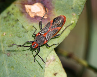Caenocoris nerii
