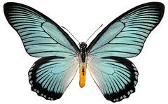 Papilio zalmoxis, male. (sarracenia.flava) Tags: papilio papilionidae zalmoxis papilionini africa giant blue swallowtail lepidoptera
