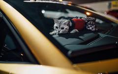 Lambo Cat (Alex Penfold) Tags: gold lamborghini aventador s lambo cat tokyo supercar cars autos alex penfold 2018