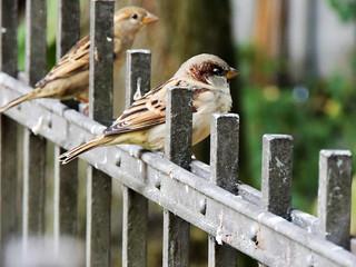Berliner sparrows