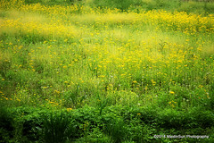 20 May 2018:  Yellow in the field (RobinMSP) Tags: may2018c dailywalk spring nature field flowers mustard richlandbotrail mansfieldohio ohio