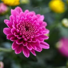 Chrysanthemen 01 (p.schmal) Tags: olympuspenf olympus60mmf28makro hamburg farmsenberne chrysanthemen