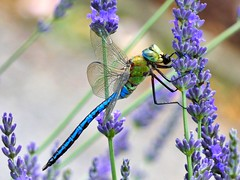 Dragonfly on lavender (libra1054) Tags: libellule libellen libellules libélulas libèllules dragonflies lavender lavanda lavande lavendel insects insekten insectos insetti insectes macro nature natura outdoor
