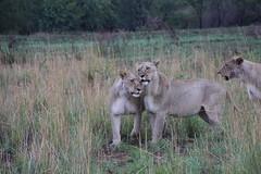 Nice little pussy cat!!! (pboolkah) Tags: lion safari south africa southafrica pilanesberg soe bush canon canon5d canon5dmkiv