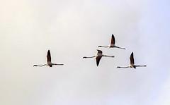 Flamingos flying (ibzsierra) Tags: ibiza eivissa baleares canon 7d tamron g2 150600 ave bird oiseau flamenco flamingo vuelo flight