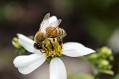 small bee (Thu Lai) Tags: smallbee bee whiteflower flowers wild huntingsweet honey