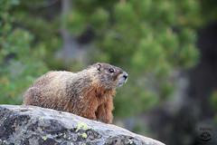 Marmot (Megan Lorenz) Tags: yellowbelliedmarmot marmot groundsquirrel rodent animal mammal nature wildlife wild wildanimals yellowstonenationalpark wyoming montana idaho mlorenz meganlorenz