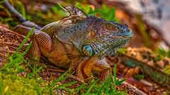 Jurassic Park (Elespics) Tags: iguana animal reptile nature