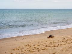 Common Seal at Winterton-on-sea (AMcUK) Tags: em10 em10ii omdem10 omdem10mkii em10mkii omd olympusuk m43 micro43rds micro43 microfourthirds olympus olympusdigital olympusdigitalcamera olympusomd winterton norfolk norfolkbeach wintertononsea seal seals seascape landscape beach water ocean sea seaside