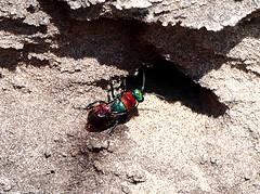 Jewel Wasp (3) 21.7.18 (ericy202) Tags: jewelwasp redgreen rotundabdomen redabdomen sand cliff dersingham bog nnr