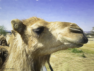 Camel known as F8