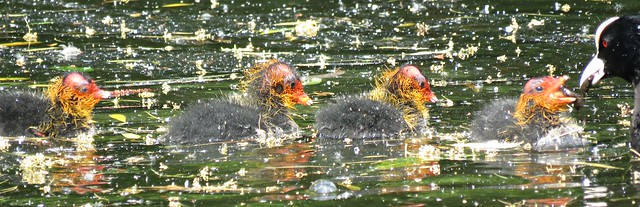 Bald As A .......Coot!