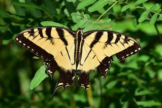 Eastern Tiger Swallowtail at Lake Lotus Park