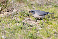 Masked Woodswallow (Artamus personatus) (Ian Colley Photography) Tags: inverell newsouthwales maskedwoodswallow artamuspersonatus bird canoneos7dmarkii ef500mmf4lisusm