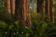 Spring Begins (Ryan Dyar) Tags: ryandyar trees tree bloom trillium wildflowers flowers spring nationalforest nationalpark delnorte coast coastal california grove forest redwoods