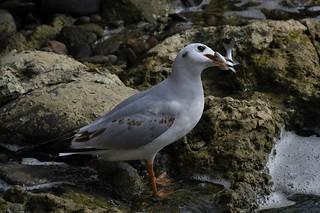 Mouette rieuse - Chroicocephalus ridibundus - Black-headed gull