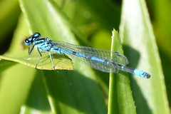 Azure (hedgehoggarden1) Tags: azure damselfly odonata insect sonycybershot wildlife creature sony norfolk eastanglia uk dragonfly eastrustongardens gardens explored inexplore