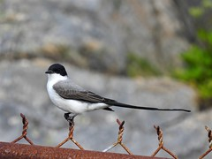 Fork-tailed Flycatcher (alison.mews) Tags: forktailed flycatcher