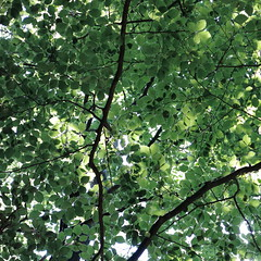 forest canopy (vertblu) Tags: foliage leaves beechtree beechfoliage commonbeech forestcanopy leafcanopy summertime summer green shadesofgreen lightshadow lookingup vert vertblu bsquare 500x500 branches inthewoods intothewoods htmt patterns patterning