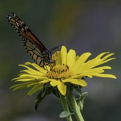 MonarchButterfly_SAF4247 (sara97) Tags: danausplexippus butterfly copyright©2018saraannefinke insect missouri monarch monarchbutterfly nature photobysaraannefinke pollinator saintlouis towergrovepark