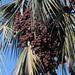 Hyphaene coriacea (Lala Palm)