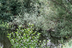 BISHOPSMEADOWS WALK SECTION OF THE NORE LINEAR PARK [LENGTH OF WALK ABOUT SIX FIELDS]-143157 (infomatique) Tags: bishopsmeadows kilkenny naturewalk naturetrail sixfields streetsofkilkenny streetsofireland infomatique fotonique august 2018 holiday sony a7riii