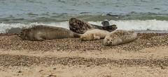 2018_Norfolk_HorseyBeach_Seals_a (atkiteach) Tags: norfolk uk england horsey horseybeach sea seaside northsea beach seal seals