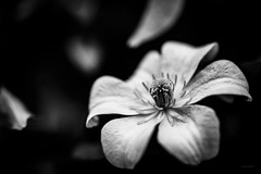 White beauty. (LACPIXEL) Tags: macromondays definingbeauty macro beauty defining définir beauté fleur flower flor white blanche blanca noiretblanc blancoynegro blackandwhite nikon nikonfr tamron flickr 365 lacpixel
